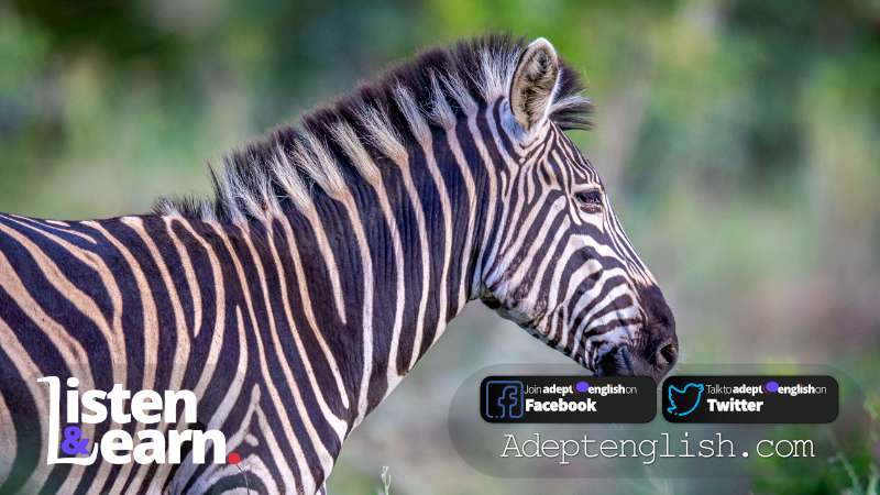 Side profile of a Zebra in the bush. Interesting conversations in English to help you practice and improve your English listening skills.