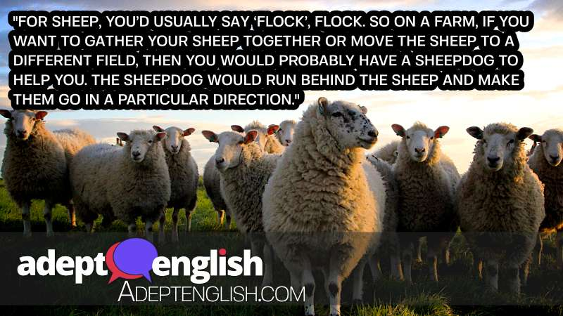 A photograph of a flock of British sheep. You are unlikely to herd cats as easily.