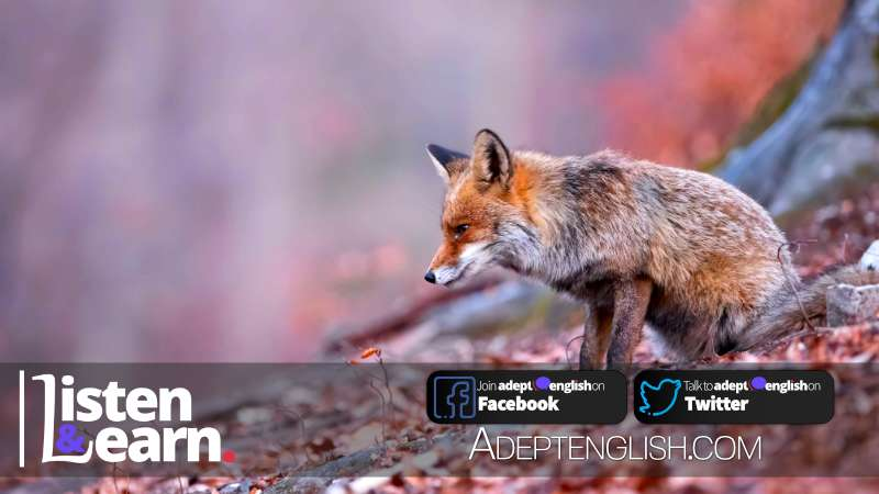 Attentive red fox focusing on the hunting in the autumnal and gloomy forest, used to help explain the English idiom beat around the bush.