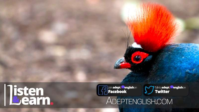 A photograph of a colourful crested partridge up close, used to help describe the 12 Days of Christmas English lesson.