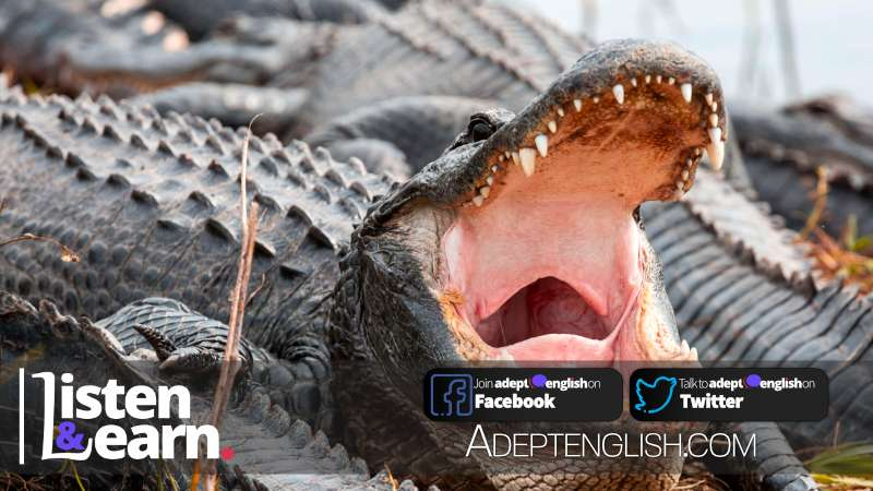 Photograph of an American alligator swimming in Everglades. Learn about a brave girl who punches one of these in this English listening practice lesson.