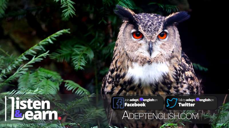 A photograph of a Eurasian eagle owl, English language explanation of why people are sometimes called larks and owls.