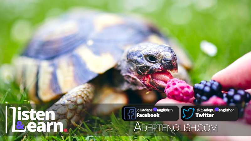 Raspberry and blackberry for pet tortoise, part of the discussion on UK obsession with pets.