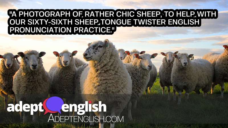 A photograph of rather chic sheep, to help with out sixty-sixth sheep tongue twister English pronunciation practice.